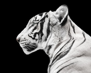 Wall Mural - Magnificent white tiger isolated on black background