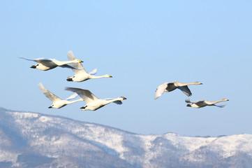 Poster Zwaan 屈斜路湖の白鳥