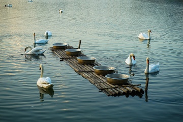 Papiers peints Cygne white swan swim with feeding rack on the lake