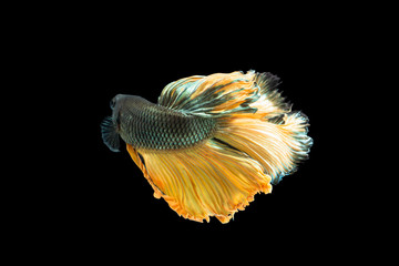 Close-up moment fish betta halfmoon Yellow mixed gray black background scenes
