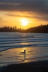 Long Beach, Near Tofino and Ucluelet in Vancouver Island, BC, Canada.  Silhouette Surfer with a Surf Board walking in water with golden sunset on the Pacific Ocean Coast in the background.