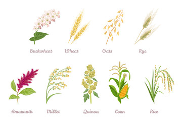 Cereal Plants  set. Buckwheat, Wheat, Oats, Rye, Amaranth, Proso Millet, Quinoa, Corn, Rice isolated on white background. Vector illustration of crop in cartoon simple flat style.