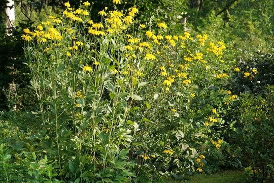 Jerusalem artichoke yellow flowers in the garden, Helianthus tuberosus