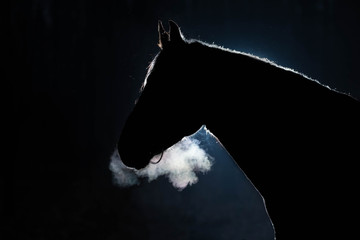 Portrait of an adult horse against a dark background. The silhouette is outlined by a bright light. Cold weather, from the nostrils of the stallion there is steam. Black background. Copy space Wall mural