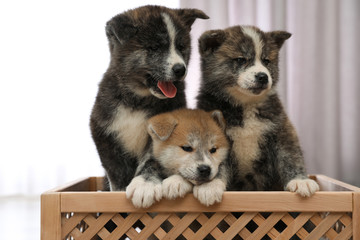Akita inu puppies in wooden crate indoors. Lovely dogs