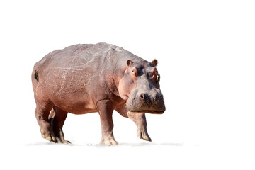 Isolated on white background, Hippo, Hippopotamus amphibius, low angle, direct view of big bull hippo staring at camera. Dangerous situation when photographing wild animals.