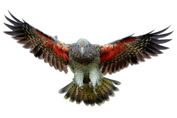 Isolated on white background, brown-green, protected mountain parrot, Kea, Nestor notabilis, flying directly on camera, orange feathers can be seen under the outretched wings.South Island, New Zealand