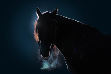 Foto auf Leinwand Pferde Portrait of an adult horse against a dark background. The silhouette is outlined by a bright light. Cold weather, from the nostrils of the stallion there is steam. Black background. Copy space