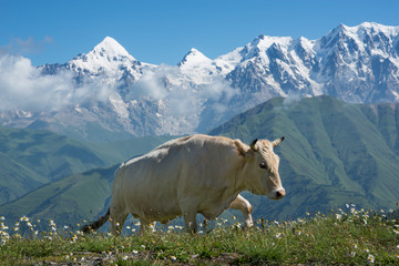Cow walking in mountains Wall mural
