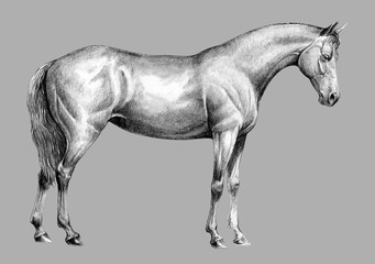 Beautiful horse. Pencil portrait of a horse. Equine drawing.