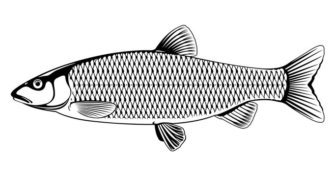 Realistic european chub fish in black and white isolated illustration, one freshwater fish on side view