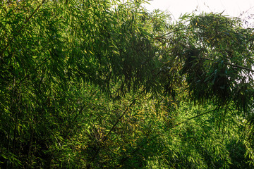 Darkish thicket of bamboo with leaves