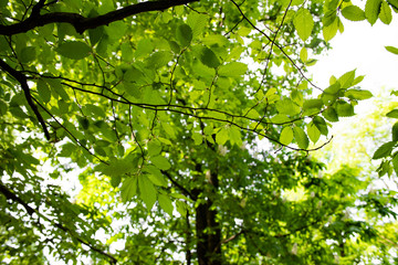 Leaves of a tree carpinus betulus in the bright sun