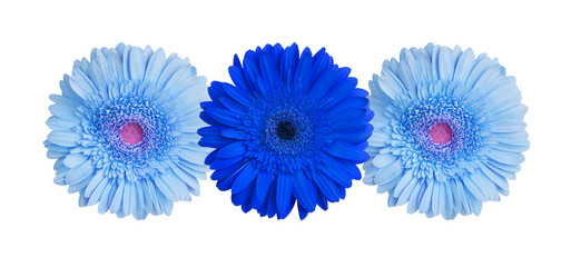 Foto op Canvas Madeliefjes Three light blue and dark blue gerbera flowers on white background isolated close up, gerber flower pattern, decorative floral border, daisies holiday decoration, daisy head top view, design element