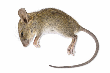 Dead rat isolated on white background with clipping path