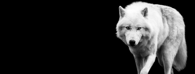 Aluminium Prints Wolf White wolf with a black background