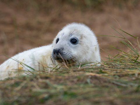 Grey Seal Pup On the Beach Dunes at Donna Nook, Lincolnshire.