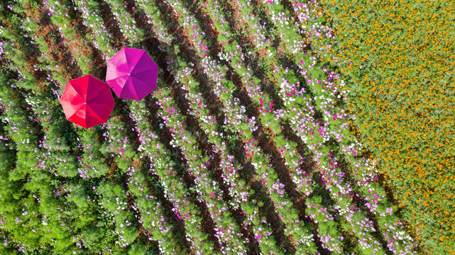 Flower garden, Aerial top view, background with beautiful colorful umbrellas