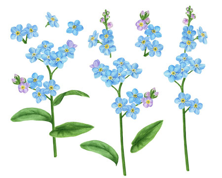 Set of design floral elements watercolor forget-me-not: flowers, leaves, buds, stems. For wedding, greeting, flower logo design.