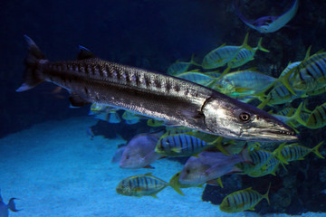 Sphyraena barracuda, or Great barracuda