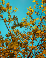 yellow leafs and the türkis sky