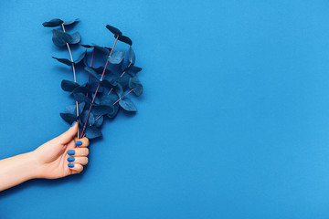 Wall Mural - Female hand with trendy blue manicure and branches of eucalyptus on blue background.