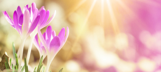 Photo sur Plexiglas Crocus Spring awakening - Blossoming pink crocuses illuminated from the morning sun - Spring background panorama with space for text