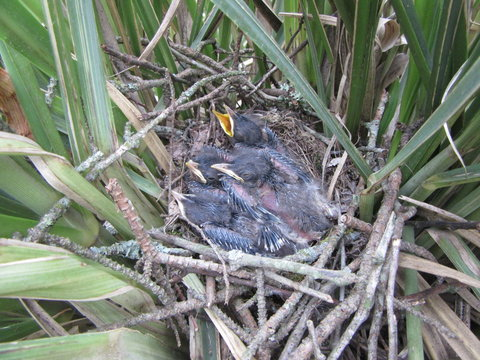 Baby mockingbirds await a feeding in their nest in the tall grass