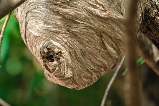 Paper Wasp Hive Zoomed Built in Backyard Tree Branch