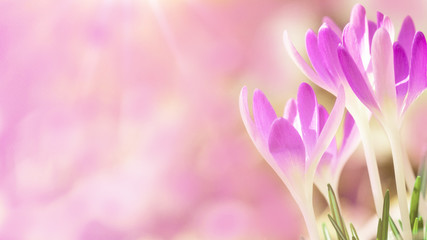 Zelfklevend Fotobehang Lichtroze Spring awakening - Blossoming pink crocuses illuminated from the morning sun - Spring background panorama with space for text
