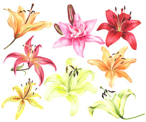 Elegant lilies, red yellow orange pink lily flowers on an isolated white background, watercolor flower, stock illustration, big collection, set.