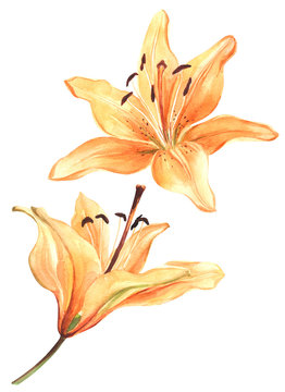 Watercolor lily, orange lilly flower on an isolated white background, watercolor watercolor flower, stock illustration.