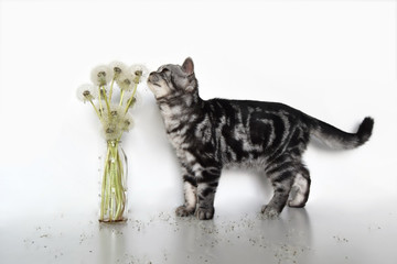 Isolated purebred scottish tabby kitten smelling dandelions in a vase