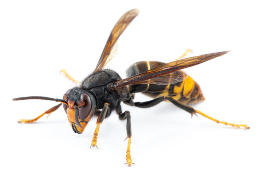 Asian hornet, also known as the yellow-legged hornet (Vespa velutina) on white.