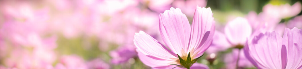 Closeup nature view of beautiful pink flower cosmos on blurred background in garden with copy space using as summer background natural flower plants landscape, ecology, fresh cover page concept.