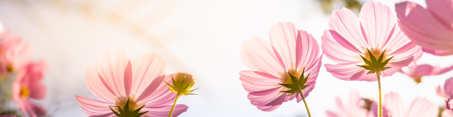 Photo sur cadre textile Fleuriste Closeup nature view of beautiful pink flower cosmos on blurred background in garden with copy space using as summer background natural flower plants landscape, ecology, fresh cover page concept.