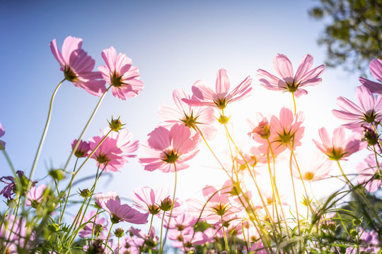 Closeup nature view of flower cosmos on blurred background in garden with copy space for text using as summer background natural flower plants landscape, ecology, fresh wallpaper concept.