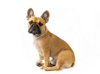 Papiers peints Bouledogue français Milo the Frenchie - French Bulldog - White Background - Sitting