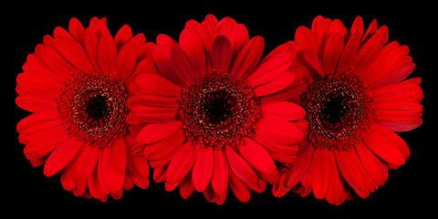 Three red gerbera flower on black background, front view
