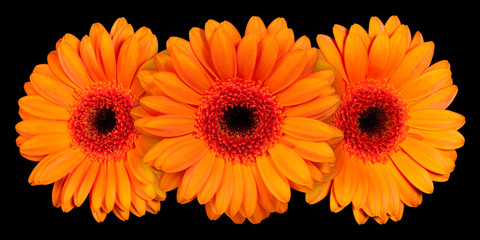 Three yellow gerbera flower on black background, front view
