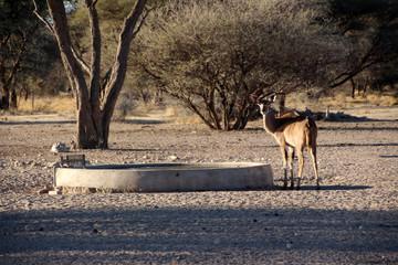 Garden Poster Antelope Afrikanische Antilope in der Savanne von Namibia