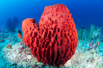 Wall Mural - A large Sea Sponge on a deep tropical coral reef