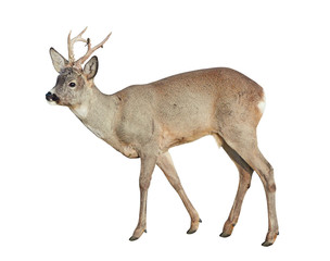 Foto op Canvas Ree Male of Roe deer (Capreolus capreolus), isolated on white background