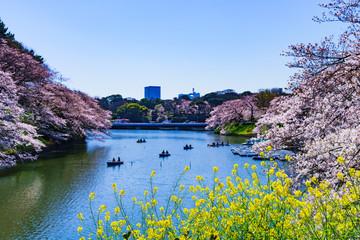 千鳥ヶ淵 風景 桜 日本文化 日本 春 三月 風物詩 快晴 サクラ ライフスタイル アウトドア 都内 菜の花