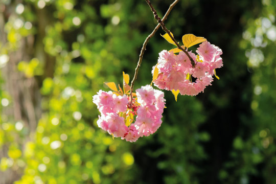 pink cherry blossom in sunlight. beautiful nature background