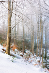 magical winter nature scenery in the morning. wonderful misty weather in the primeval beech forest of carpathians. leafless trees in hoarfrost. sunny and foggy weather. enchanted atmosphere