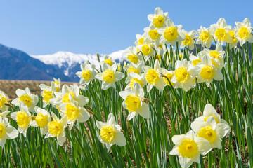 駒ヶ岳とスイセンの花