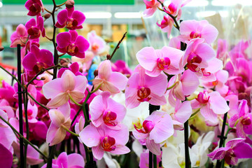 Phalaenopsis Orchid pink flowers  in the store. Many flowering plants, nature floral background. Beautiful flowers at greenhouse. Flower shop, market. Potted Orchid