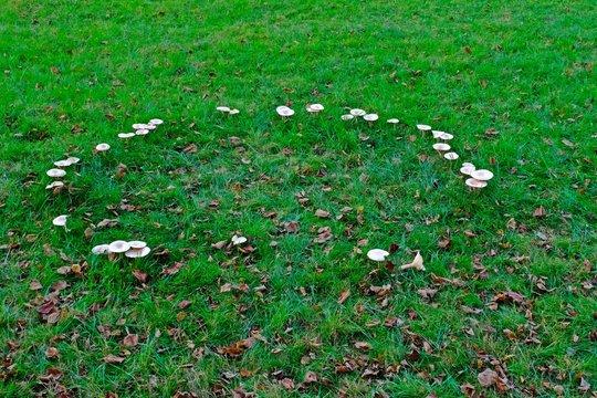 The fairy ring mushrooms (Chlorophyllum molybdites, Garden Fungi) backyard mushroom growing on grass.