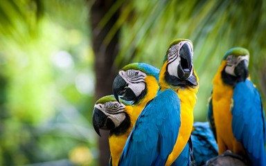 Foto op Canvas Papegaai blue and gold macaw parrot